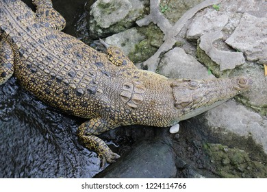 Wild crocodile is stepping on the stone which located in a zoo