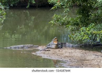 Wild Crocodiles in Sri Lanka