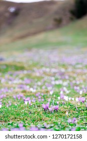 wild crocos in purple and white on famous Mountain Heuberg