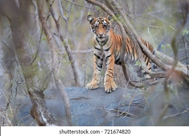 Wild cub of  Bengal tiger, Panthera tigris, gazing at camera through dry forest partly illuminated by sun. Tiger cub in its natural, rocky environment. Ranthambore  park, Rajasthan, India.