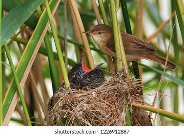 wild cuckoo chick and reed warbler