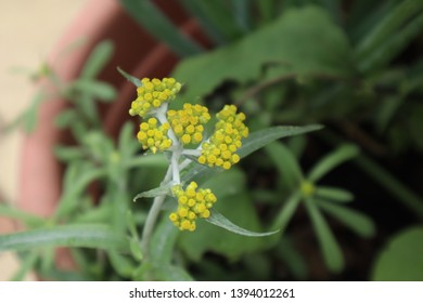 Wild Cudweed flower in the roof