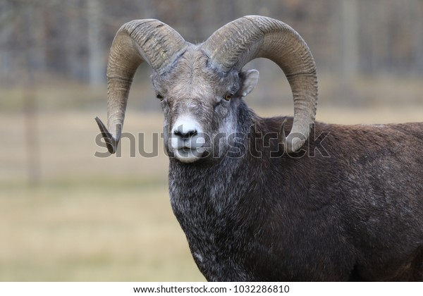 wild curious bighorn sheep in canada