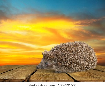 Wild cute hedgehog on the wooden desk