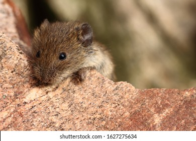 Wild cute house mouse (Mus musculus) outside on stone. Around is copy space (empty, free place) for text. Mouse (animal) is adorable, sweet and it is close up look (view). Mice has brown (agouti) fur