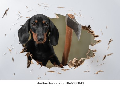 Wild dachshund puppy cut hole in door or wall with axe and sticks out trying to get inside and chase his victim like in horror movie. Creepy scene with a pet maniac. fear of buying a puppy.