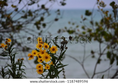 Wild daisies along the shore of Lake Michican in autumn with bokeh in the distant brush and horizon.