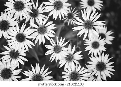 Wild daisies. Black and white photo.