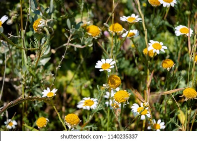Wild daisies in the field
