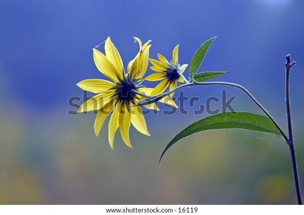 wild daisies in field