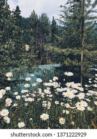 Wild daisies, glacial stream, forest