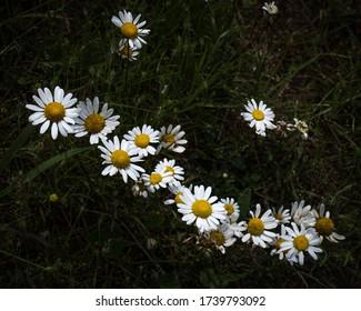 Wild daisies growing in a Georgia meadow
