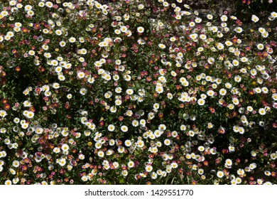 Wild daisies growing on a wall