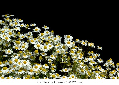 Wild daisies on a black background.