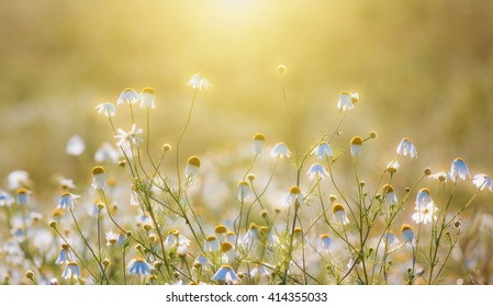 Wild daisies in the sun - Shutterstock ID 414355033