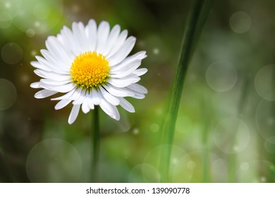 Wild daisy flower in the meadow. Nature background with copy space. Macro shot
