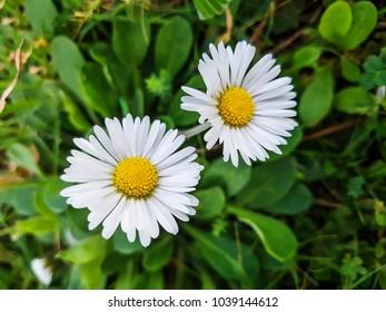 Wild daisy flowers Bellis perennis