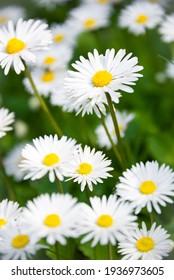 Wild daisy flowers blooming in sunny field or meadow