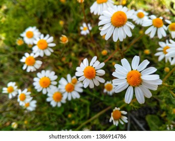 Wild daisy flowers garden in the forest, white daisy, daisy flower on green meadow, spring daisy in the meadow.