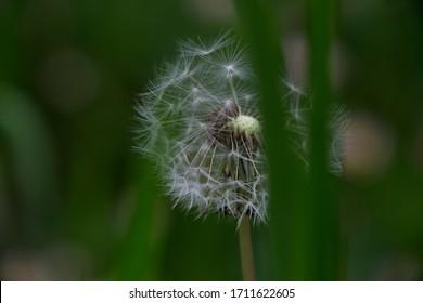 Wild dandelion flower among the grass, Madrid, Spain