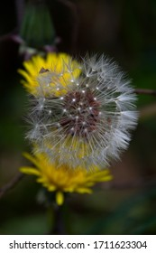 Wild dandelion flower at different times of flowering among the grass, Madrid, Spain