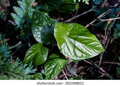 Wild daun kaduk or piper sarmentosum at Taman Negara National Park