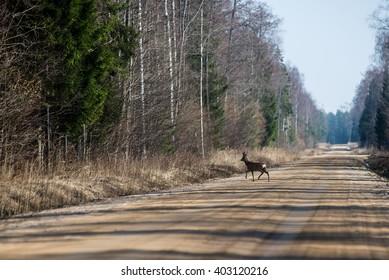 Wild dear crossing the road in spring