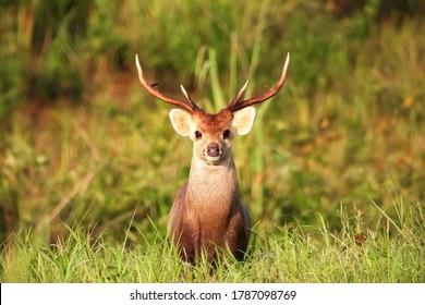A Wild Dear look at camera, wild dear in Khao Yai National Park, Thailand