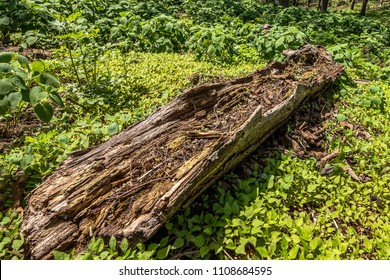 Wild decayed dead wood