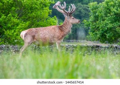 Wild deer at Bradgate Park, Leicestershire