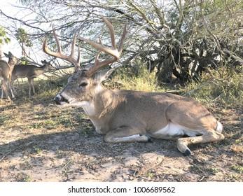 Wild deer buck