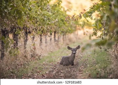 Wild deer in California vineyard.