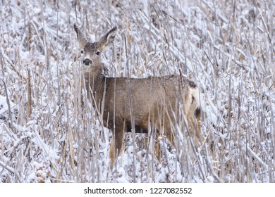 Wild Deer In the Colorado Great Outdoors. Mule Deer Doe in a Snow Covered Field.