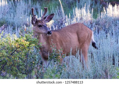 Wild Deer In the Colorado Great Outdoors - Mule Deer Buck in Mountain Scrub.