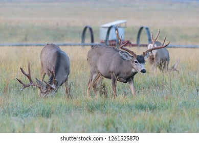 Wild Deer In the Colorado Great Outdoors - Mule Deer Buck in an Open Field
