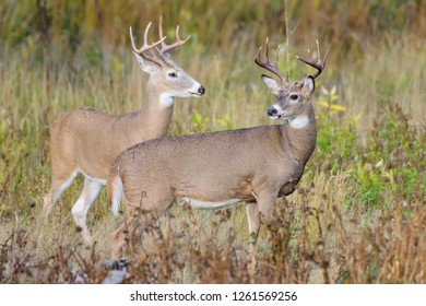 Wild Deer In the Colorado Great Outdoors - White-tailed Deer Bucks in an Open Field