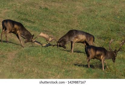 Wild deer( Dama dama) fight in summer colorful background
