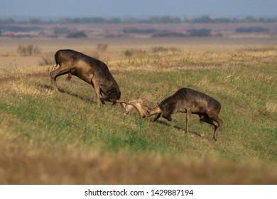 Wild deer ( Dama dama) fight in summer colorful background