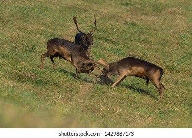 Wild deer ( Dama dama) fighting in summer colorful background