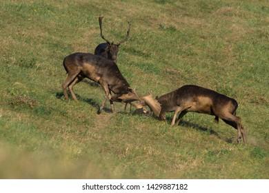 Wild deer( Dama dama) fighting in summer colorful background