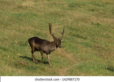Wild deer( Dama dama) in summer colorful background