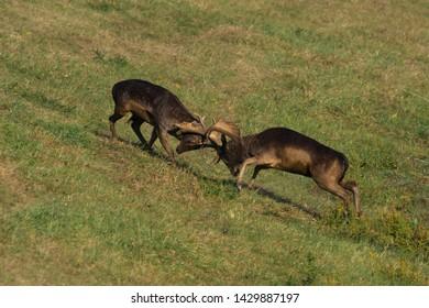 Wild deer fight( Dama dama) in summer colorful background