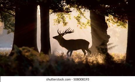 Wild Deer Forest Silhouette. Morning Sunlight