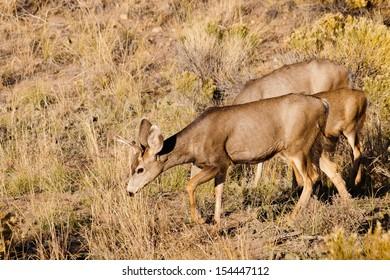 Wild deer at Great Sand Dunes National Park, Colorado.