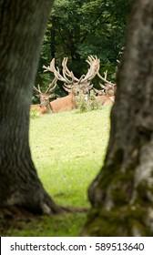 Wild deer group