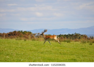 Wild Deer at Islay