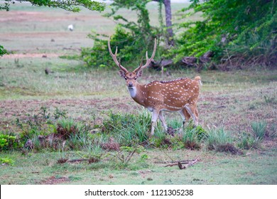 Wild deer in National Park, Sri Lanka