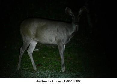 Wild deer in night life
