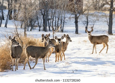 Wild Deer on the Colorado Prairie. A small herd of mule deer gathered in the snow.