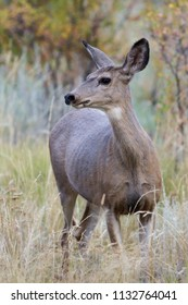 Wild Deer on the Colorado Prairie - Mule Deer Doe in Autumn